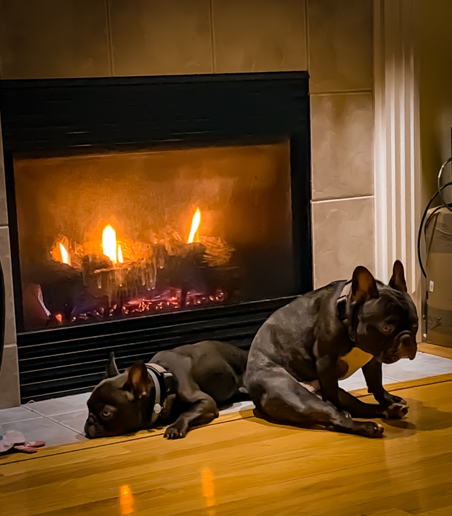 two french bulldogs in front of a fireplace